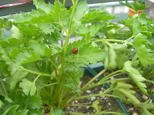 2009-06-06 Lady Bug