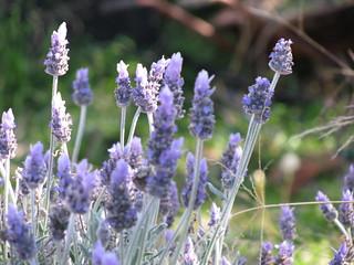 Lavandula angustifolia (Common Lavender) - cul...