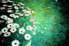 Fish & Flower (saviorjosh) Tags: fish flower lomo lca xpro lomography kodak doubleexposure beijing crossprocessing ebx