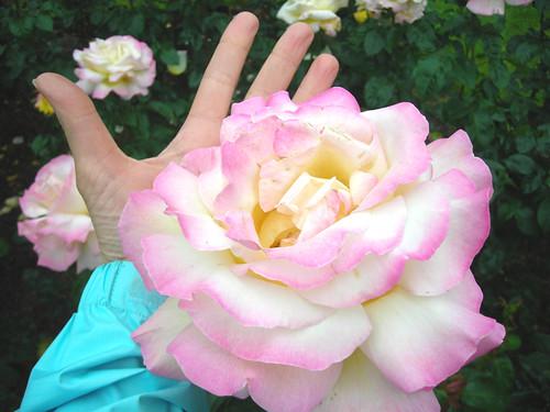 Huge Rose