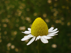 HBW (Ashley1954) Tags: fab explore herbaltea wildflower asteraceae masterphotos worldbest chamomillachamomilla wildchamomile excellentsflowers excellentsflower natureselegantshots explorewinnersoftheworld explorewinneroftheworld matricariachamomila earthappleingreek theplantdoctor