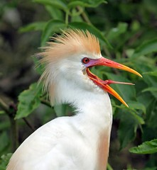 Cattle Egret (minds-eye) Tags: wild bird florida beak hammock egret biodiversity specanimal