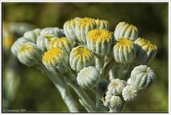 Nature can be soft... (Thomaniac) Tags: flowers white macro yellow closeup canon eos spring soft natur blossoms blumen gelb weiss nahaufnahme frühling blüten weich efs60mmmacro lens00025 450d thomaniac