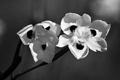 ?flower (B&W)