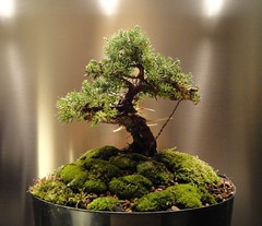 Juniper procumbens nana by Jerry Norbury