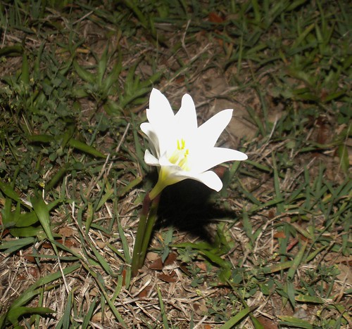 Night-blooming Lily