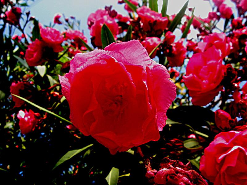 01-05-2010-oleander4