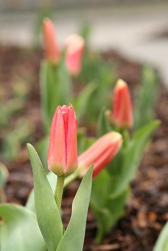 Tulips / Tulbid