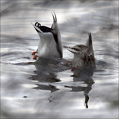 I'm sure I dropped it here… (NaPix -- (Time out)) Tags: lake canada reflection nature water action ducks diving napix acouplethatheadstandstogetherstaytogether i'msureidroppedmywatchhere…