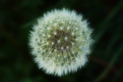 Deseos al viento (divka.) Tags: naturaleza france macro nature field picnic sony flor polen campo alpha francia vegetacion flowermacro dientedeleon deseos osseja sonyalpha divka macroflor oceja