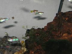 Endlers/ Wild Guppies (jmaesmith) Tags: fish guppy endler livebearer wildguppy