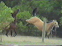 Payback (Caleesto) Tags: horses horse brown playing black water animal animals swim fun bay fight paw mare play kick kate attack angry danny strike condor fighting brumby tiff kicking pinto gallop buckskin attacking quarterhorse gelding caleesto clydesdalecross