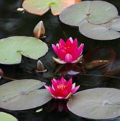 Gilding the Lily at Hidcote Manor Garden (antonychammond) Tags: uk pink red england pond lily britain gloucestershire inyoureyes blueribbonwinner otw fantasticflower flickraward firsttheearth nothingbutthebest theunforgettablepictures theperfectphotographer goldstaraward natureselegantshots rubyphotographer awesomeblossoms hidecotemanorgarden