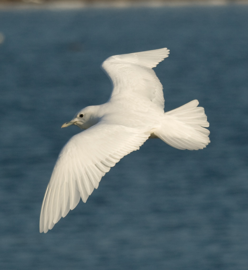 Ivory Gull, Plymouth-11
