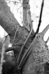 Strangled Tree (Jane P :-)) Tags: tree garden blackwhite climber strangled janepackard