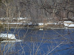 Swans on Mississippi River 2