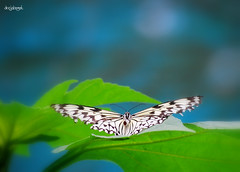 Floats like a butterfly (docjabagat) Tags: blue green butterfly garden d40x