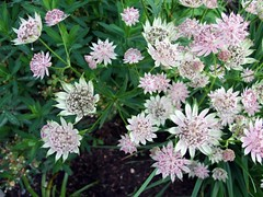 ASTRANTIA major 'Berendien Stam'