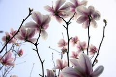 Magnolia soulangiana (Montouto)