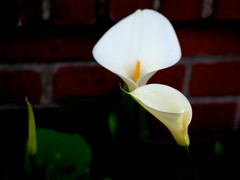 Callas At Evening, #9 (vajra) Tags: flowers white flower calla callas callalily