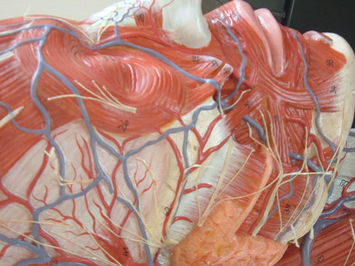osama bin laden dead or alive_13. arteries and veins of neck. DSCF3295 middot; Right face veins, arteries middot;; DSCF3295 middot; Right face veins, arteries middot; neck-veins