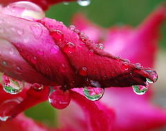 drops and drops (mo pena nom) Tags: rain drops perfect res mauritus the adenium photgrapher blueribbonwinner bej abigfave platinumphoto isawyoufirst diamondclassphotographer theunforgettablepictures vosplusbellesphotos theperfectpinkdiamond