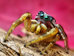 Adult Male Jumping spider (Pelegrina pervaga) (Thomas Shahan) Tags: portrait macro slr face up k vintage lens 50mm prime spider jumping eyes close pentax zoom arachnid flash small just reversed dslr smc vivitar bellows softbox diffuser opo entomology arachnology macrophotography bayonet salticid palps f17 salticidae pelegrina thyristor terser k200d pervaga