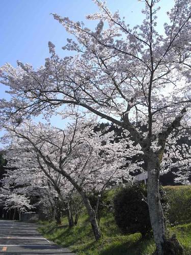 09-04-10【桜】@談山神社-03