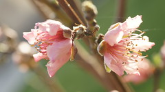 peach tree blossoms in spring (vintagemodernphotography.com/Virginia) Tags: spring dof bokeh blossoms peach