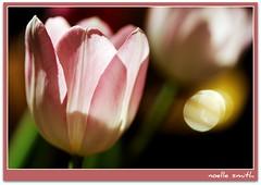 backlit (beesquare) Tags: pink flower easter spring bokeh tulip backlit