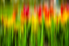 T U L I P S (manganite) Tags: red plant abstract blur color green colors yellow digital photoshop germany de geotagged iso100 petals interestingness spring blurry nikon colorful europe bonn seasons blossom tl vivid blurred explore motionblur highsaturation d200 pollen nikkor f18 dslr stigma lightroom 50mmf18 botanischergarten northrhinewestphalia stamina carpel nikond200 interestingness161 i500 manganite colorefexpro 15000sec date:month=april date:day=10 date:year=2009 format:ratio=32 format:orientation=landscape 15000secatf18 geo:lon=7091402 geo:lat=50724823