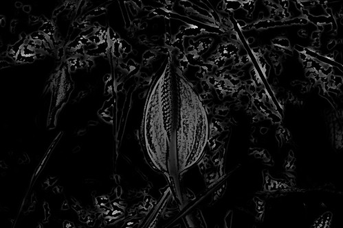 1212 Skunk Cabbage Ghosts