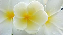 White Plumeria 2 (After Raining) / ดอกลีลาวดี
