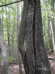DSC00411 (Chi~Tree) Tags: treeclimbing