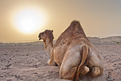Arabian Camel at Sunset (Jim Boud) Tags: sunset sky canon interestingness interesting sand desert dunes uae middleeast explore abudhabi unitedarabemirates sanddunes explored jimboud jrbxom jamesboudphotoart alkhatem