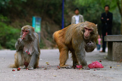 Thieving monkeys (morten almqvist) Tags: park 50mm f14 guiyang qianling sd14