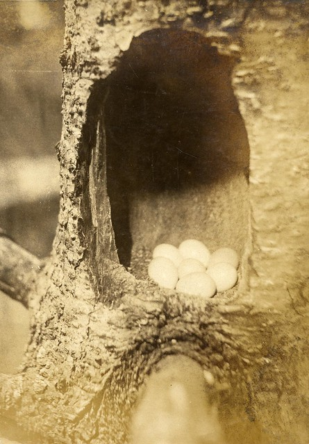 Nest and eggs of Flicker with side of stump sawed out by Oregon State University Archives