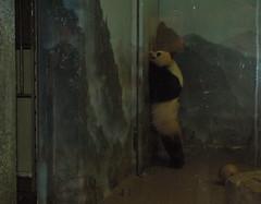 Mei wants out_1263 (apandalover) Tags: giant zoo dc panda tian national mei 2009 xiang pandas taishan