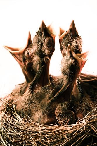 フリー画像| 動物写真| 鳥類| 雛/ヒナ|        フリー素材|