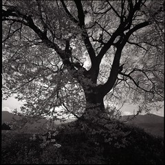 cherry tree in monochrome (HASSELBLAD SWC) (potopoto53age) Tags: flowers blackandwhite bw plant black flower tree monochrome japan zeiss cherry years delta100 ilford cherrytree yamanashi 38mm biogon superwide formatsquare nirasaki swchasselblad cherrytreeinmonochrome whitesakura400 oldwanizukahasselblad chasselcarl f45carl zeisszeissbiogon6x6filmmedium formatsquareepson gtx970epsongtx970filmilford