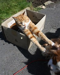 go away..it's a one cat box (Bogart Cat) Tags: gingercat oadby kingcharlescavalier ramsbottomcat
