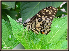 Papilio demoleus malayanus (Lime/Lemon Butterfly, Chequered Swallowtail), at our backyard May 18 2009
