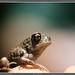 Juvenile Eastern Spadefoot Toad