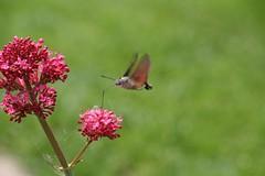 Kolibrievlinder (i)