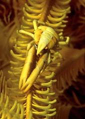 squat lobster on crinoid (Geoff Spiby) Tags: indonesia underwater scubadiving crustacean arthropods coralreef squatlobster marineanimal reeflife lembehstraits