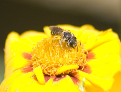 sweat bee (1)