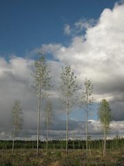 (eeviko) Tags: blue trees sky cloud white tree green clouds suomi finland woods aspen unedited pohjoiskarjala nurmes populustremula northkarelia easternfinland ylikyl itsuomi