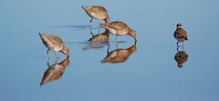 Reflections (Billtacular) Tags: nature birds outdoors newjersey spring wildlife birding nj migration birdwatching wma shorebirds shortbilleddowitcher semipalmatedplover wildlifemanagementarea heislerville thewonderfulworldofbirds