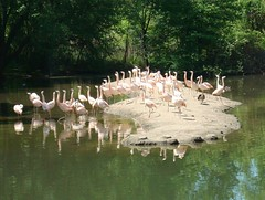 Chilean Flamingos (IslesPunkFan) Tags: ny newyork birds animals zoo flamingo aves bronxzoo chileanflamingo phoenicopteruschilensis flamingoe