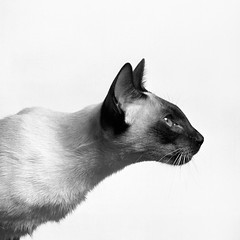 AP-92YMV5_www.animal-photography.com (Animal Photography stock images) Tags: pet cats pets reflection beautiful beauty animal animals closeup cat mediumformat observation one 1 focus pretty quiet peace serious gorgeous watch watching expressions handsome style siamese content grace calm single squareformat serenity shorthair feeling elegant sideview contemplate focused stillness shorthaired feelings expect contemplation elegance lookingahead tranquillity seriousness expectation observing sealpoint intention concentrating sophistication sorthair sealpointsiamese loveliness shorthairs backgroundwhite siamesesealpoint